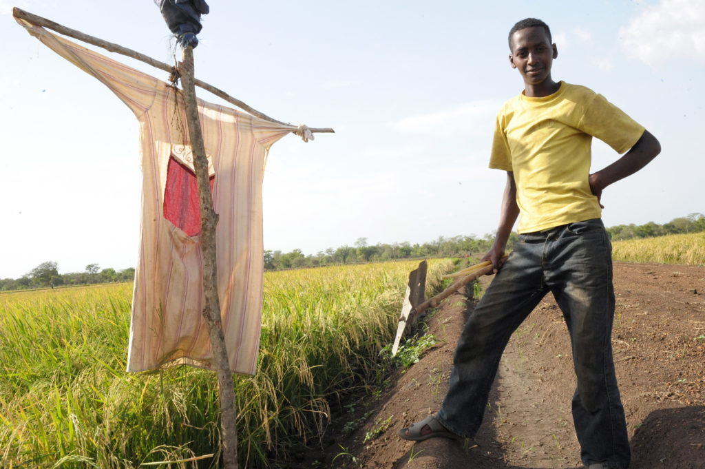 Ethiopian Laborer on Rice Farm
