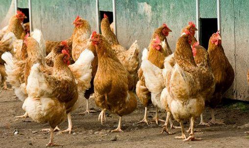 Free-range-chickens-image-getty