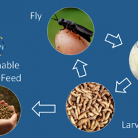 Millennial Food Innovators: Kulisha Turns Flies into Sustainable Animal Feed